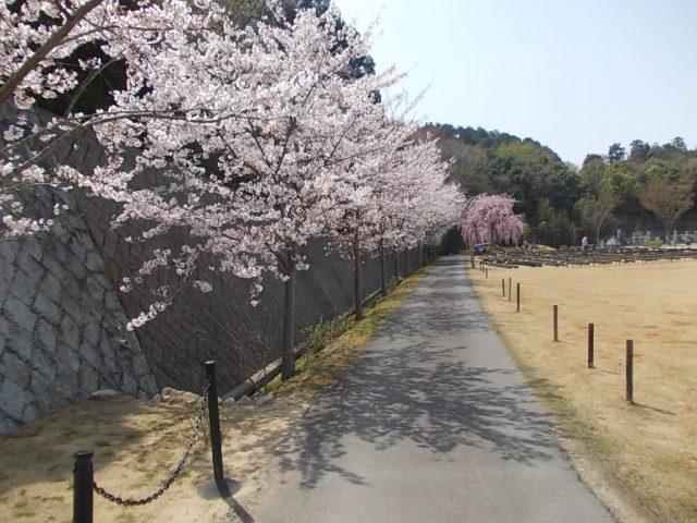 13本の桜があります