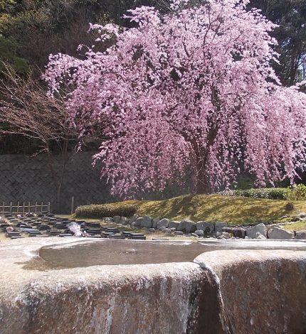 今年の桜、ちょっと順序が違う