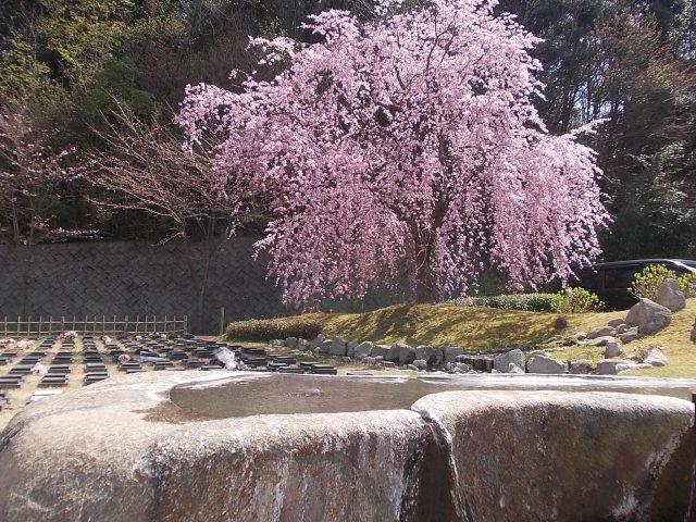 3月26日桜