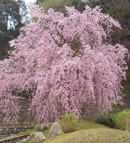 しだれ桜が一番に満開です